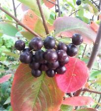 Schwarze Apfelbeere Aronia melanocarpa essbare Früchte im Herbst