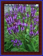 Hardy Blue Vervain - 'Verbena Hastata'  30 Seeds! Comb. S/H See Our Store