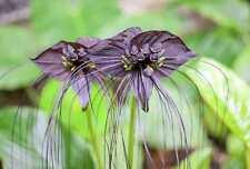 RARE cat/'s Head Plant Tacca integrifolia Vivace 5 Graines Vendeur Britannique