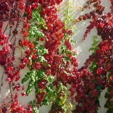 PARTHENOCISSUS quinquefolia Virginia Creeper Seeds (ES 51)
