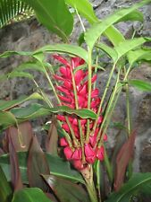 10 Keiki Red Ginger Plants! Ostrich Plume Ginger (Alpinia Purpurata)🥇🏆