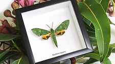 Moth for sale Euchloron megaera  insect taxidermy for sale Australia BAEM