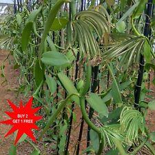 Vanilla Plant / Planifolia Bean Plant / Air Rooted plant (Matured) / 15-20 cms