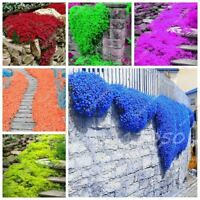 100 Pcs/bag Creeping Thyme Seeds or Rare Color Rock Cress Seeds Perennial Ground