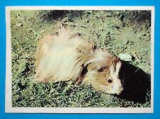 Figurina Panini-ANIMALI DI TUTTO IL MONDO 1965-n.75-CAVIA-rec