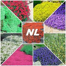 100Pcs Creeping Thyme Seeds 9 Species Medicinal Garden Decoration Magic Carpet