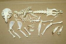 real genuine exotic africa mammal animal skull taxidermy skeleton african bone