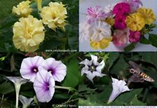 Colorful Fragrant Night Garden Flowers, Vines, Trumpets 4 packs/price 3 From Usa
