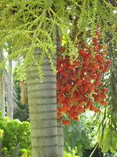 *100 fresh Seeds*Wodyetia Bifurcata* Foxtail Palm*Free shipping*