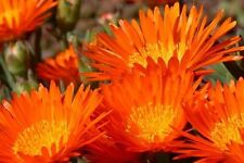 50+ Orange Ice Plant Flower Seeds / Perennial / Dorotheanthus Bellidformis