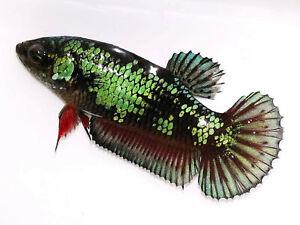 (LimitedOffer!) Premium Live Betta Fish l Female Green Venom Plakat 1144