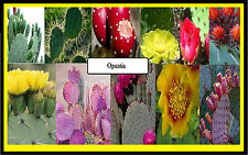 Opuntia mix seeds rare exotic prickly pear cacti 10 Seeds