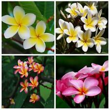 10Pcs Blumen Fragrant Plumeria Rubra Lei Fresh Flower Seeds Courtyard Lawn