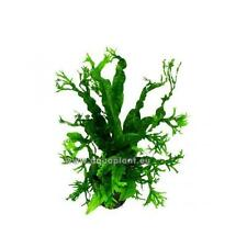 1 Bund Javafarn crisped leaves, Wasserpflanze, Barschfest, Aquarienpflanze