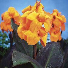 Orange Canna Lily Plant rhizome, tropicana WA