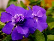 "Vinca minor ""Flore Plena"" x 3 plants"