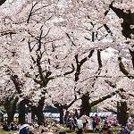 Tokyo Sakura Street Japan