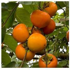 sharonfrucht Diospyros replanterons graines Mûr replanterons prune nouveau Import 2019