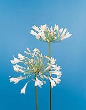 Agapanthus  Africanus White Giant Perennial Seeds