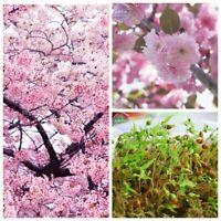 20 Japanese Pink Cherry seeds Blossom Sakura Tree Oriental Sweet Prunus