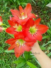 *UNCLE CHAN* 2 BULB OF RED HIPPEASTRUM RETICULATUM FLOWER AMARYLLIS CUTE LILY