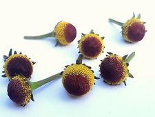 """60 count """"Fresh Edible"""" Szechuan flowers Aka buzz buttons,toothache plant."""
