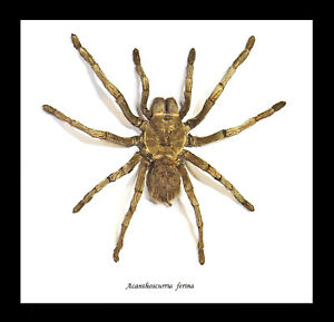 Spider Insect Taxidermy framed real arachnid collection for sale BJAFE