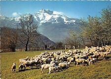 BR061 un joli triupeau et vue sur les Dants du Midi sheep mouton  switzerland