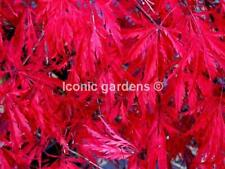 Rare Japanese maple cultivar 4yr 'Vic Pink'