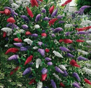 BUTTERFLY BUSH MIXED COLORS, 350 SEEDS, BUDDLEIA DAVIDII,**beautifully scented**