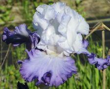 "1 Tall Bearded Iris ""Heartstring Strummer""- Fragrant - Large Rhizome, size #1"