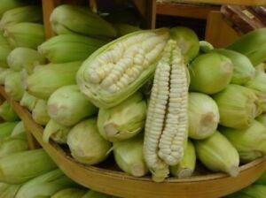 Chulpe Corn - Peruvian Maize - 10+ seeds - YIELDING RARITY!