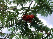 3 Mountain Ash (Rowan) Plants / Sorbus Aucuparia 2ft Tall Trees, Hedges