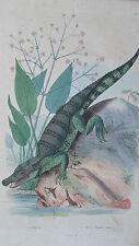 Gravure en couleur du XIXè s. Alligator. Alysme Plantain d'eau. de Sainson 1837
