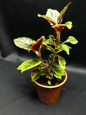 Unkown tropical plant from Ecuador 3 shoots 17 x 17 B.S.