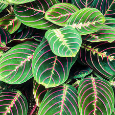 Maranta Fascinator Tricolour   Colourful Indoor House Plant   20-30cm in Pot