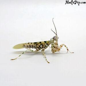Spiny Flower Praying Mantis (Pseudocreobotra wahlbergi) L2/L3 LIVE Nymph