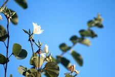 Bauhinia natalensis - The Natal Orchid Tree - 5 Seeds