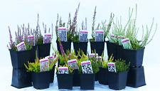 6 Excellent Garden Heather Plants Shrubs