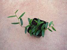 Ficus punctata Terrarium Pflanze Terrarienpflanzen