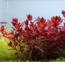 3 stems of Ludwigia sp. Mini Super Red very red live aquarium plant