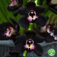 Unique Black Orchid Seeds Cymbidium Rare Flower Bonsai Garden Plants 100 Pcs