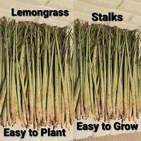 15 Lemongrass Stalks Plugs Cymbopogon, Mosquito Repellent, Easy to Grow, Herbal