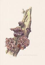 Judasohr Auricularia auricula-judae Farbdruck von 1965 Ohrlappenpilz Mykologie P