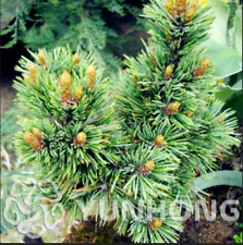 Perennial Juniper Pinus Densiflora 50 Pcs Seeds Pine Bonsai Tree Garden Home NEW