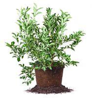 Premier Blueberry, Live Plant, Size: 2-3 ft.