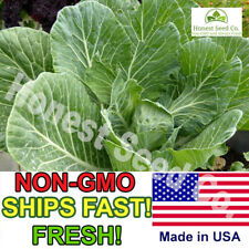 600+ Champion Collard Greens Seeds | Non-GMO | Fresh Vegetable Seeds USA