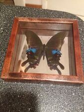 PAPILIO ARCTURUS BUTTERFLY MOTH MOUNTED Glass Mirrored Display Case China RARE