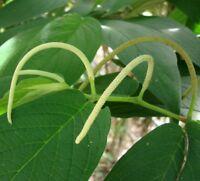 i! der BAMBUS-PFEFFER !i duftet intensiv und wunderbar; immergrün, Samen Saatgut