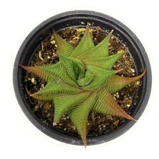 25 Seeds Haworthia Limifolia Fairy Washboard Succulent Cactus Plant Garden Cacti